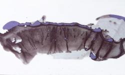 09 saurierfisch, 2013, Beize auf Glanzpappe, 10 x 19 cm